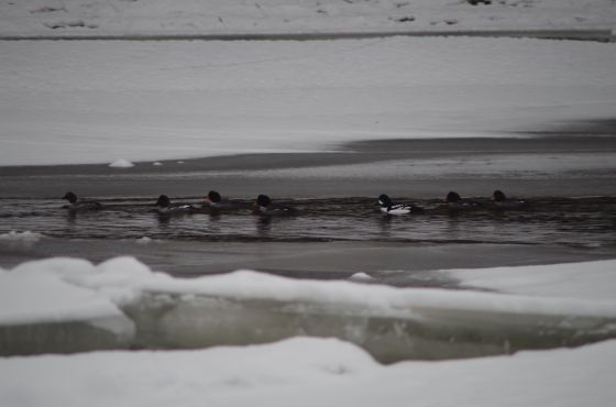 seven ducks swim through water and ice