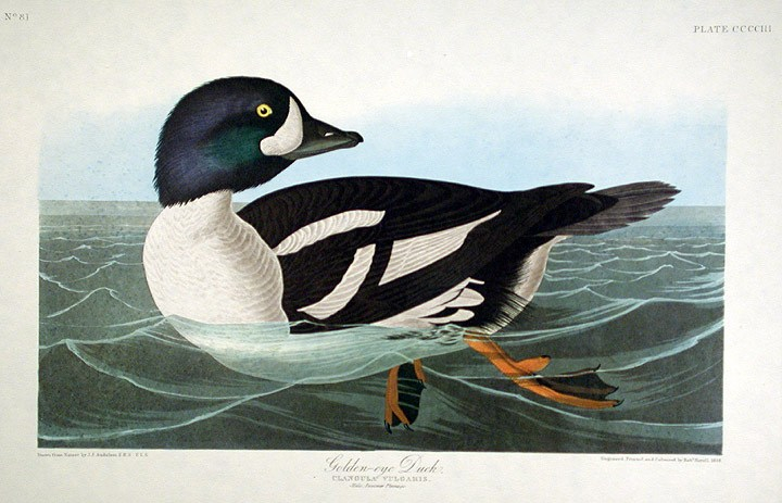 golden-eye duck painting by John James Audubon