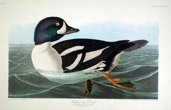 golden-eye duck painting by John James Audubon