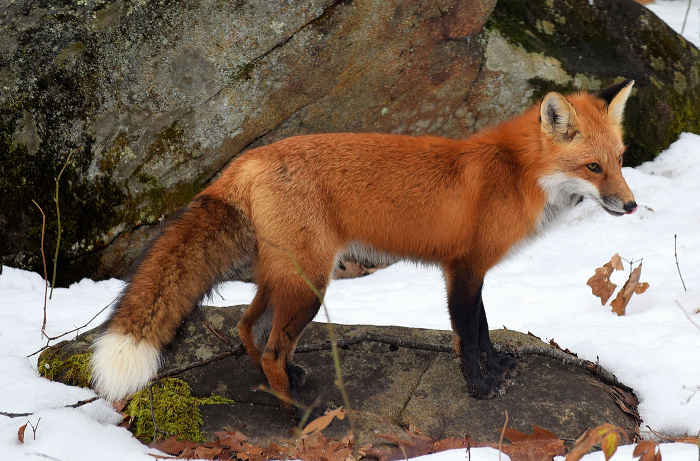 red-fox-winter-south-china-4-hal-winters